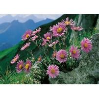 CARTE ST : Fleurs rose sur rocher en montagne