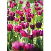 CARTE ST : Champ de tulipes roses