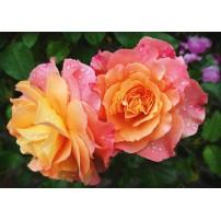 CARTE ST : Roses oranges