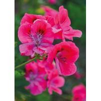 CARTE ST : Fleurs roses
