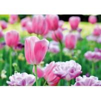 Carte Sans Texte Tulipes dans un champ