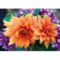 Carte Sans Texte Dahlias oranges et violettes