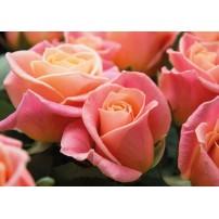 Carte Sans Texte Bouquet de roses roses