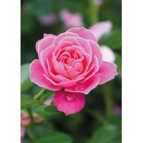 CARTE ST : Rose rose
